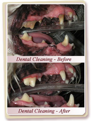 Your Pet's Dental Cleaning
